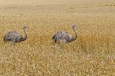 İki büyük rheas — Stok fotoğraf