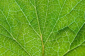Currant green leaf texture macro — Stock Photo