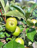 äpfel auf dem baum — Stockfoto