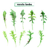 Vector set of watercolor arugula herbs on white background. Set of rucola elements. — Stock Vector
