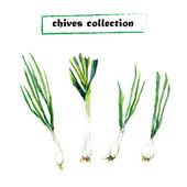 Vector set of watercolor chives elements. Herbs collection. — Stock Vector