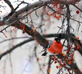 Bullfinches — Stock Photo