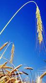 Weizen — Stockfoto