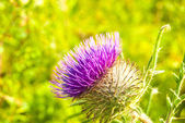 Purple thistle in green meadow — Stock Photo