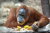Big orangutan — Stock Photo