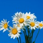 Daisies against blue sky — Stock Photo #69090167