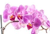 Orchid flower, Phalaenopsis — Stock Photo
