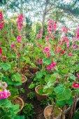 Malva flowers — Stock Photo