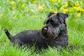 Black Miniature Schnauzer Dog — 图库照片