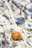 Bio apples left on the trees in freezing winter — Fotografia Stock