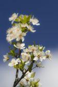Floradas de primavera, contra um céu azul — Fotografia Stock
