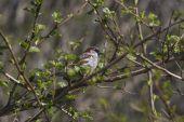 Red-backed Shrike — Stok fotoğraf