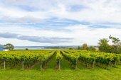 Beautiful rows of grapes before harvesting — Foto de Stock