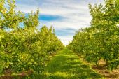 Rows of green apple trees — Stockfoto