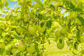 Green apples hanging on the tree — Stock Photo