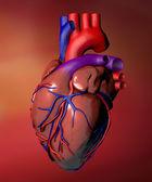 Heart anatomy — Stock Photo