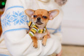 Chihuahua dog in boy's hands — Stock Photo