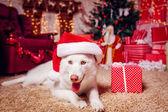 Husky dog in Santa hat — Stock Photo