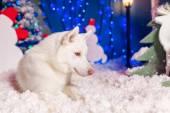 Beautiful white husky do — Stockfoto