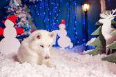 Beautiful white husky dog — Stock Photo