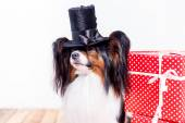 Cute papillon dog in hat with gifts — Stock Photo
