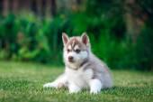 Sibiřský Husky na zelené trávě — Stock fotografie
