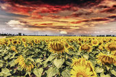 Field of sunflowers with beautiful sky — Foto de Stock