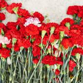Red dianthus flowers — Stock Photo
