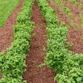 Rows of currant bush seedlings — Stock Photo