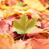 Surface covered with colorful maple leaves — Stock Photo