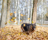 Duitse herdershond — Stockfoto