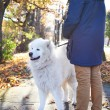 Walking Arctic Spitz Samoyed dog outdoors — Stock Photo #71165951