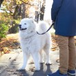 Walking Arctic Spitz Samoyed dog outdoors — Stock Photo #71169299