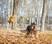 German shepherd dog playing — Stock Photo