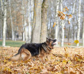 Dog playing with the yellow maple leaves — Stock Photo