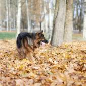 German shepherd dog playing with  leaves — Stock Photo