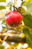 Reifer Apfel am Baum — Stockfoto