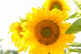 Färgglada vackra solrosor — Stockfoto