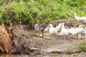 Flock of funny geese — Stock Photo