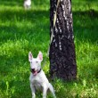Little white dog bullterrier on a leash near the tree — Stock Photo #57187847