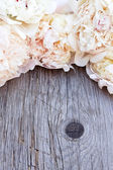 White pink peonies flowers — Stock Photo