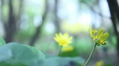 Žlutý květ v přírodním parku — Stock video