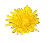 Yellow flowers of spring decoration with white background — Stock Photo