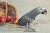 Parrot of zhako — Stock Photo