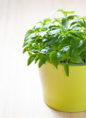 Potted chili pepper — Stock Photo