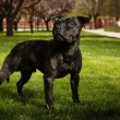 Posing Staffordshire bull terrier — Stock Photo #71015729