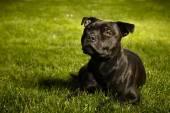 Staffordshire bull terrier male in garden — Fotografia Stock