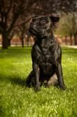 Nice Staffordshire bull terrier — Stockfoto