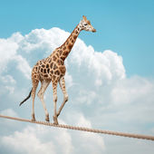 Giraffe balancing on a tightrope — Stock Photo