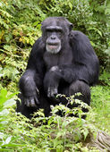 Chimpanzee deep in thought — Stock Photo